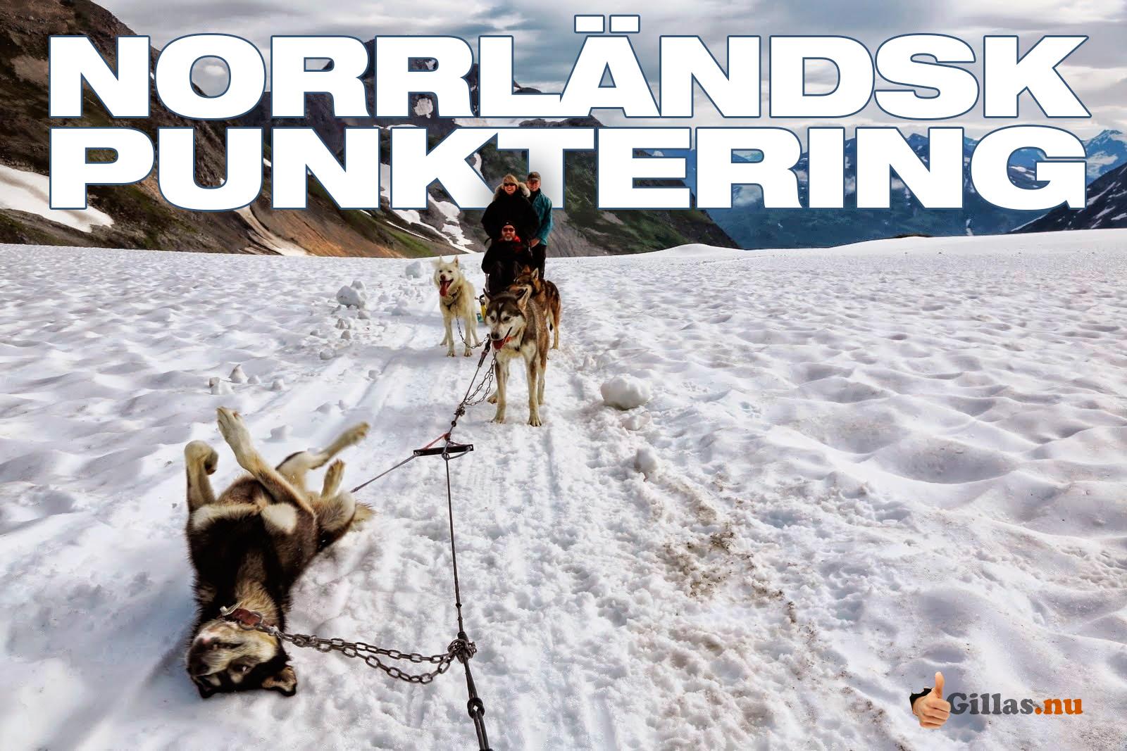 Trött slädhund (Siberian Husky) - Norrländsk punktering