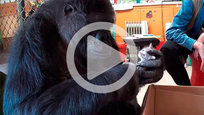 Underbar video med gorillan Koko som får en låda kärlek i födelsedagspresent!