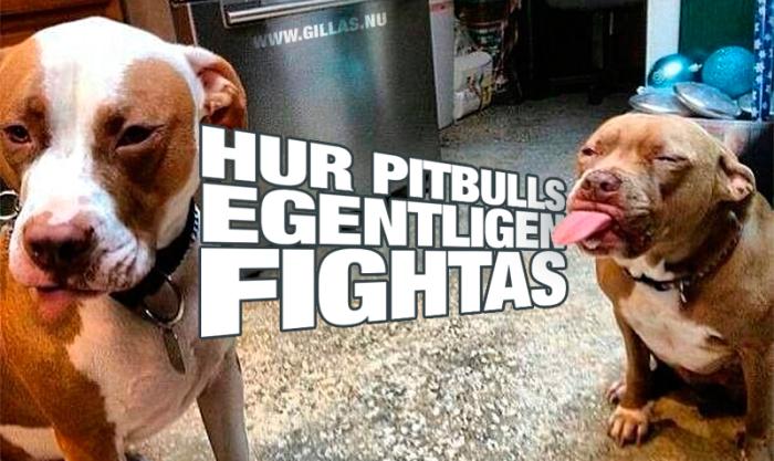Pitbulls är ofta fantastiskt rara men, har dessvärre ett dåligt rykte