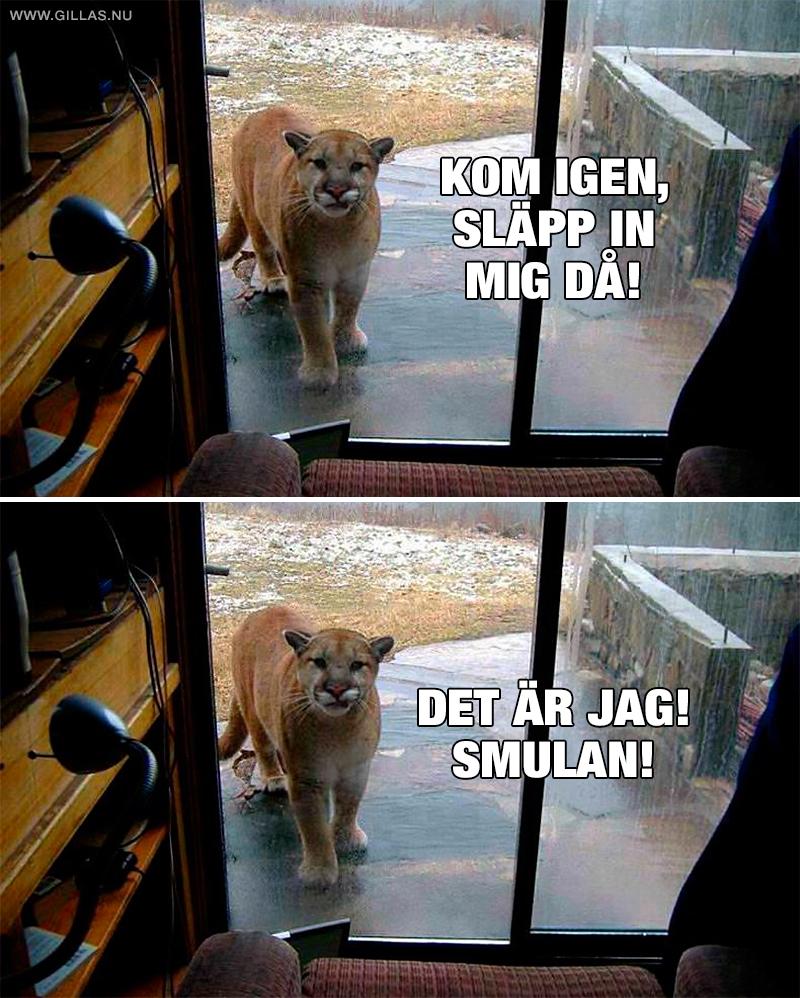 Puma vill komma in i huset