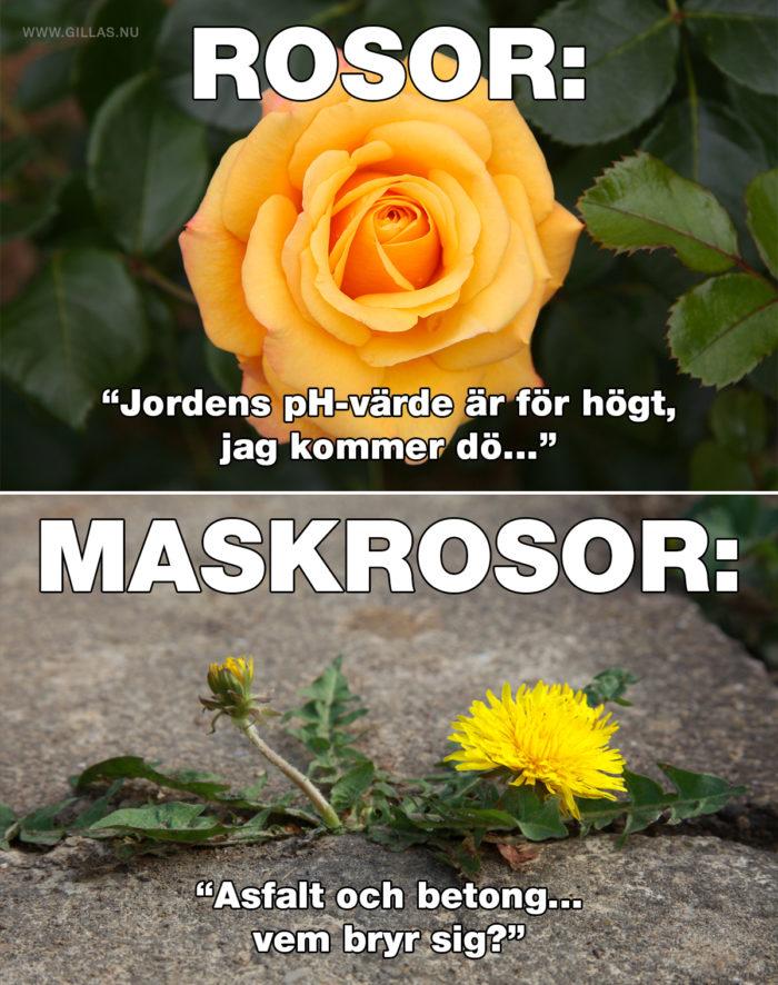 Det finns två typer av rosor och vi ser på dem olika beroende på säsong