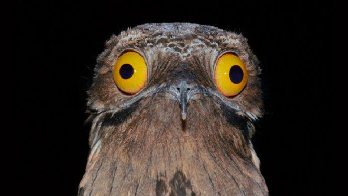 Det kan vara svårt att hålla sig för skratt första gången man ser Potoo-fågeln!