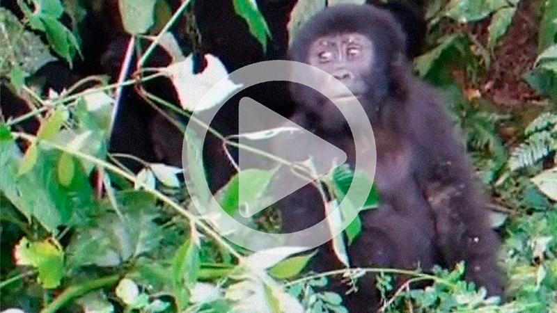Gorillaunge som försöker slå sig på bröstet men tappar balansen
