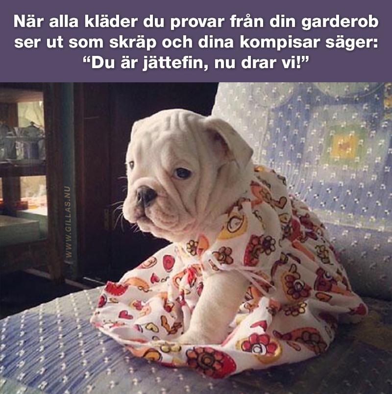 """Engelsk bulldog i klänning - När alla kläder du provar från din garderob ser ut som skräp och dina kompisar säger: """"Du är jättefin, nu drar vi!"""""""