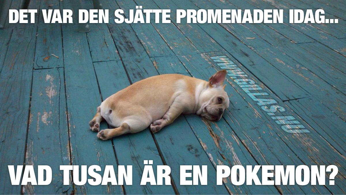 Utmattad hund ligger och vilar på trägolv - Det var den sjätte promenaden idag... Vad tusan är en Pokemon?