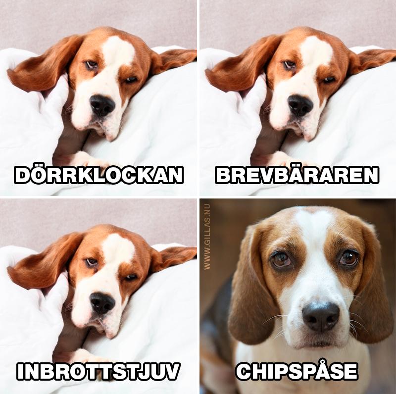 Sovande hund störs inte av något - Dörrklockan, brevbäraren, inbrottstjuv och chipspåse