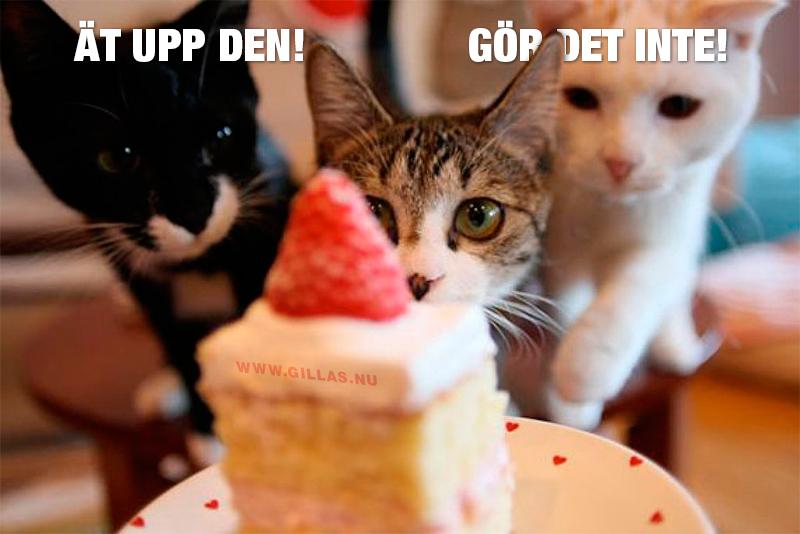 Katter stirrar på tårta - Ät upp den! Gör det inte!