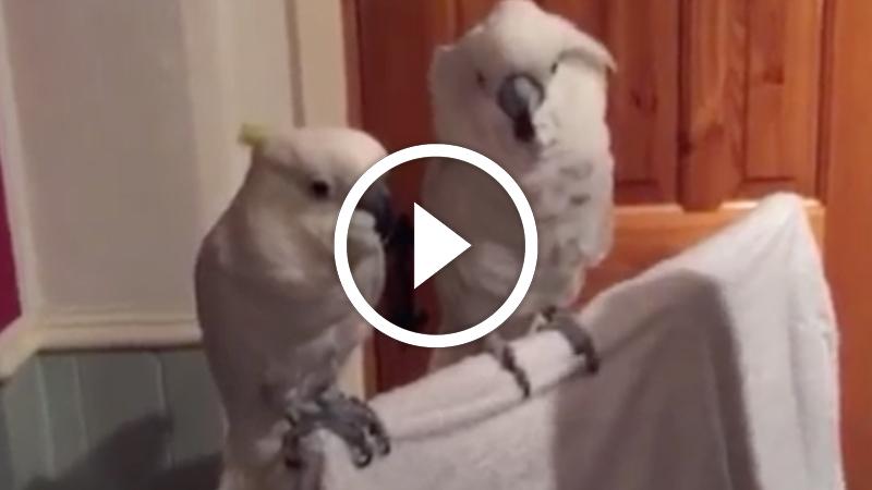 Dansande papegoja