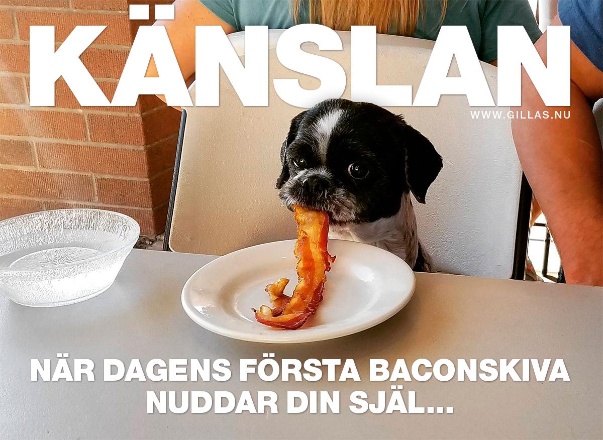 Hund vid bord med baconskiva i munnen - Känslan när dagens första baconskiva nuddar din själ