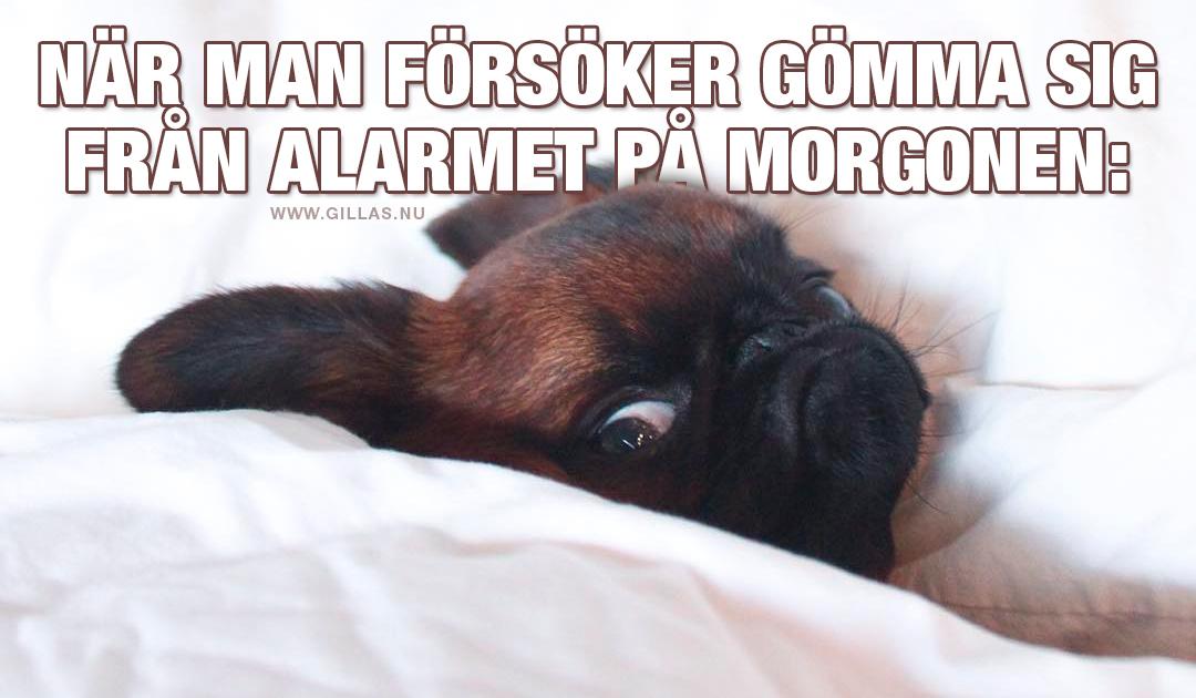 Hund under täcke i säng - När man försöker gömma sig från alarmet på morgonen