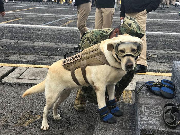 Tuffa labradoren Frida har räddat 52 liv i rasmassorna efter jordbävningarna i Mexiko!