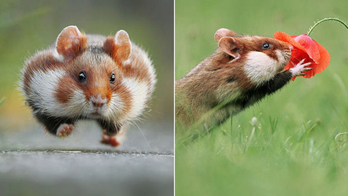 Har du en dålig dag? Varsågod, här är 25 bilder på hamstrar i det vilda som kommer göra den bättre!