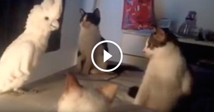 VIDEO: Kakaduan försöker prata katternas språk och inlevelsen är helt otrolig!