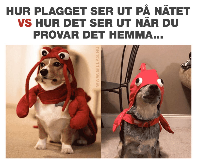 Hundar med drakter