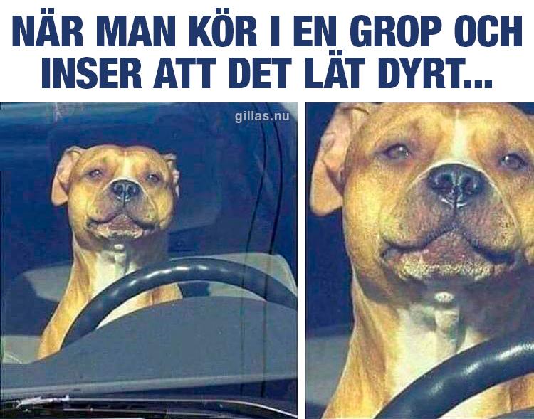 Hund bakom ratt i bil
