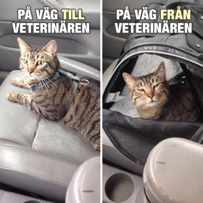 Katt i framsäte på bil. På väg till veterinären VS På väg från veterinären