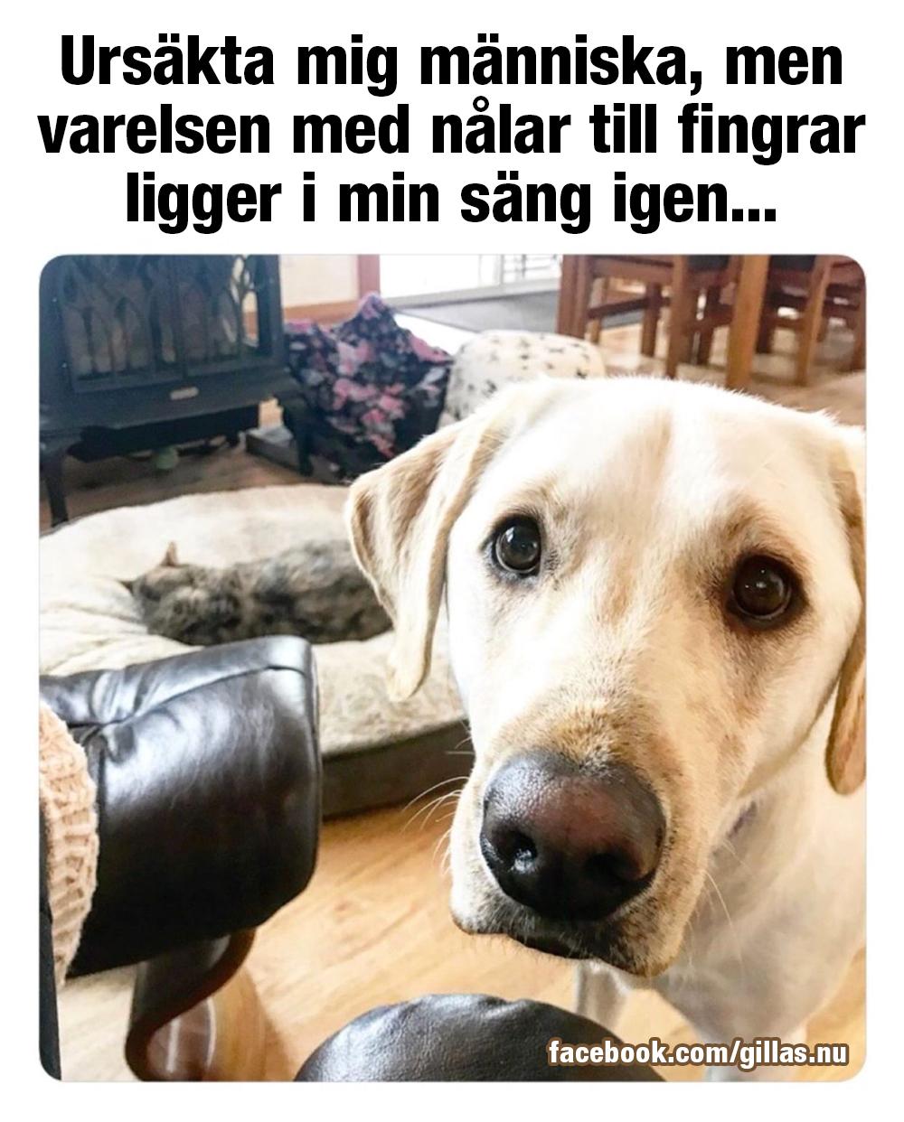 Hund med bedjande ögon