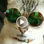 VIDEO: Spana in katten som påminner oss om hur coolt det är med solglasögon!