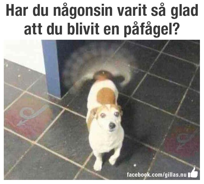 Hund som viftar på svansen