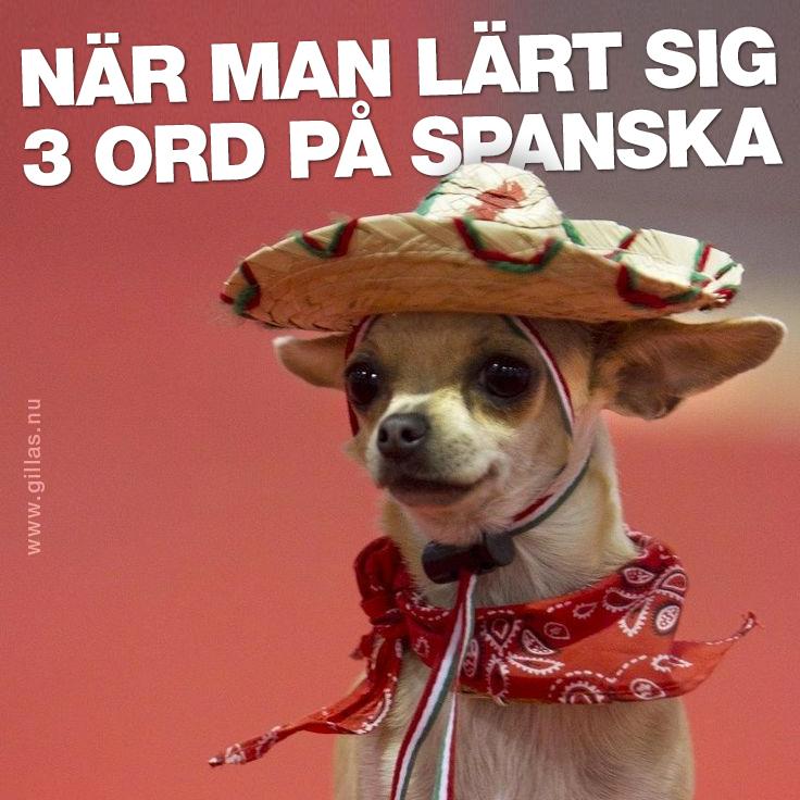 Chihuahua med sombrero