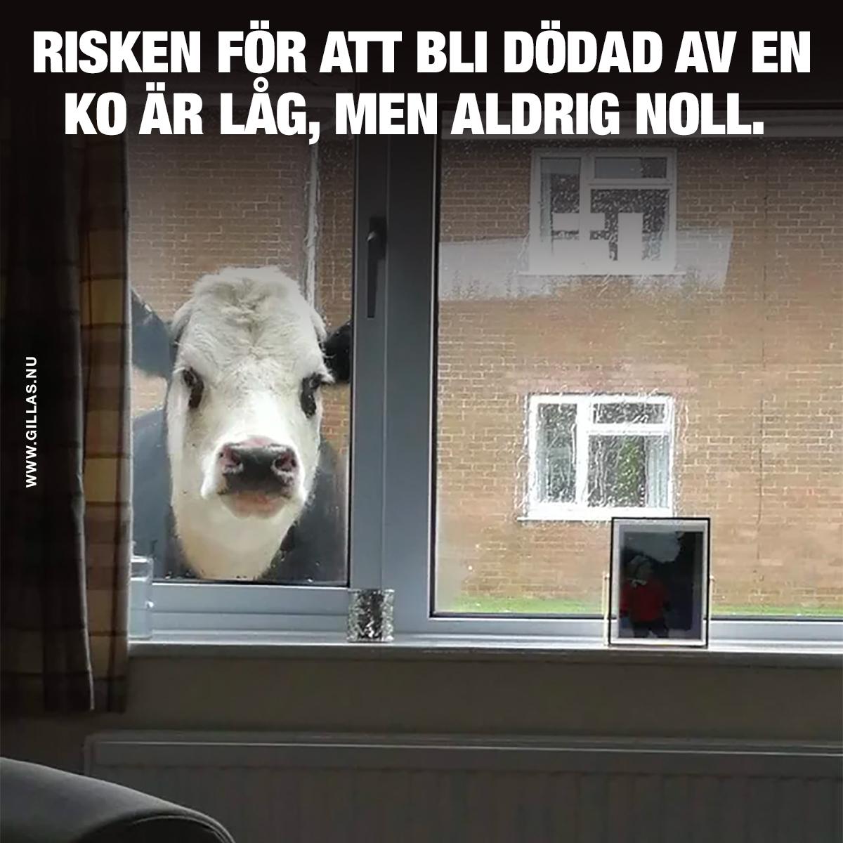 Ko tittar in genom fönster